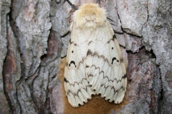 Gypsy Moth in Wisconsin