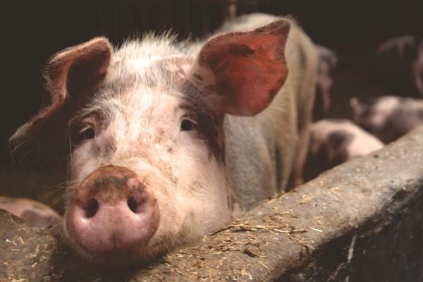 Wisconsin Swine Extension