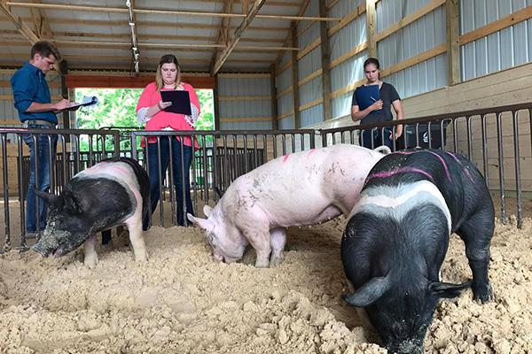 youth judging swine