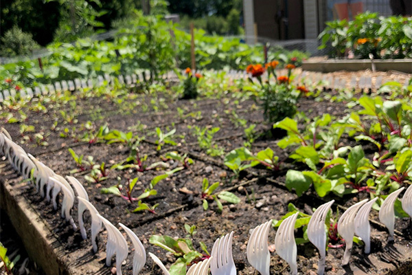 Garden of early-growth vegetables surrounded by white plastic forks
